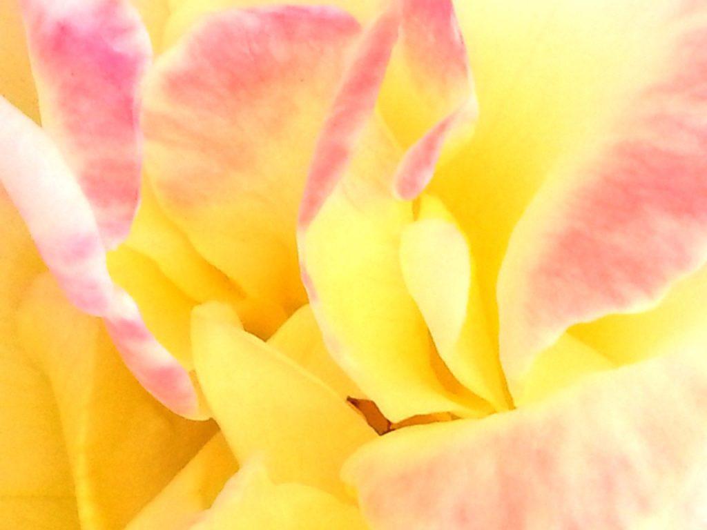 Viva on Rose